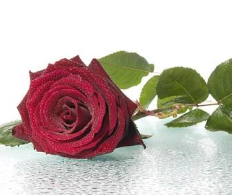 带水珠的红玫瑰高精图片素材-ps资源 ps资源 婚纱模板,儿童模板,台