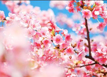 盛开的桃花背景素材图片