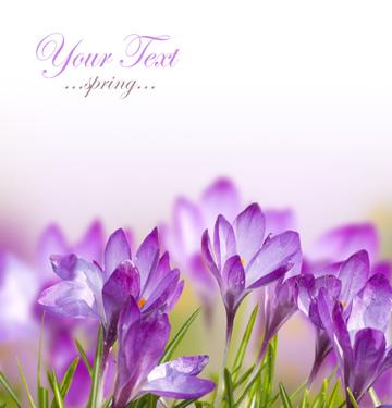 春天的紫色秋水仙花卉摄影图片高清素材下载