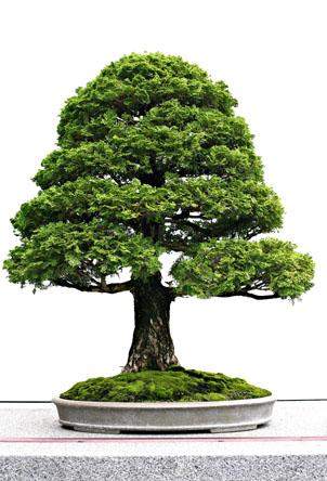 白背景盆栽树木植物素材高清图片下载4