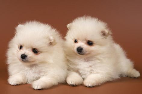 毛绒绒的可爱宠物小狗动物素材高清图片下载1
