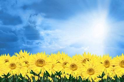 (06-29) 白背景五支黄色郁金香花素材高清图片下载 (06-29) 白底一束