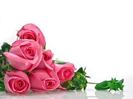 含苞待放的粉色玫瑰花高清图片素材下载