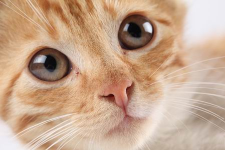 黄毛猫咪高清脸部眼睛特写图片素材下载