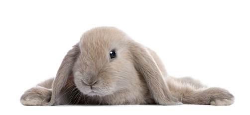 兔子--高清图片 高清设计素材下载[中国photoshop资源