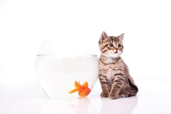 可爱猫咪与透明玻璃鱼缸金鱼高清白背景素材图片
