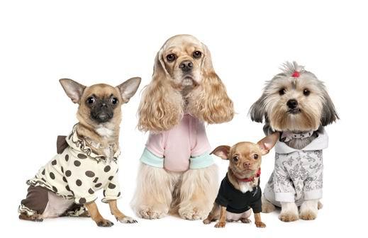 动物图片 小狗  毛绒绒的可爱宠物小狗动物素材高清