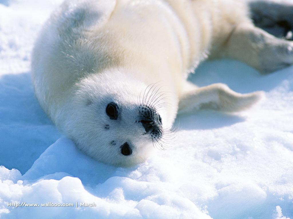 可爱的南极海豹图片素材(21p)[中国photoshop资源网