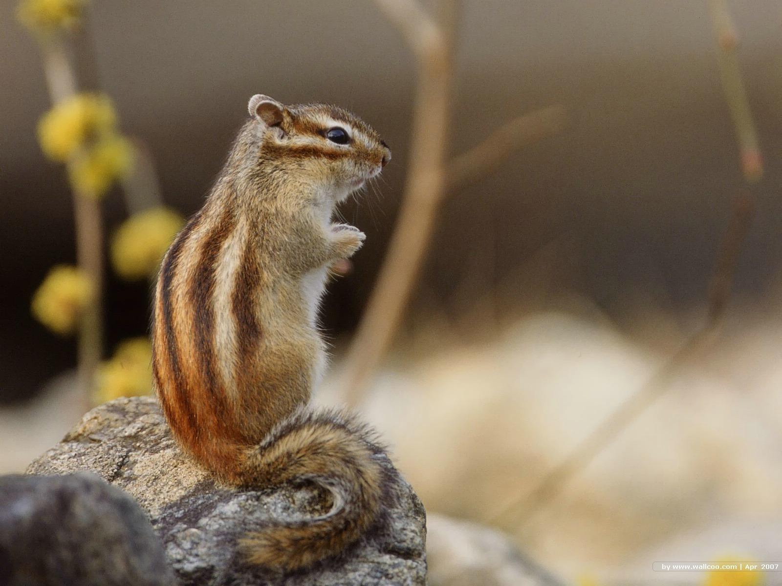 可爱的松鼠图片素材(21p)[中国photoshop资源网|ps