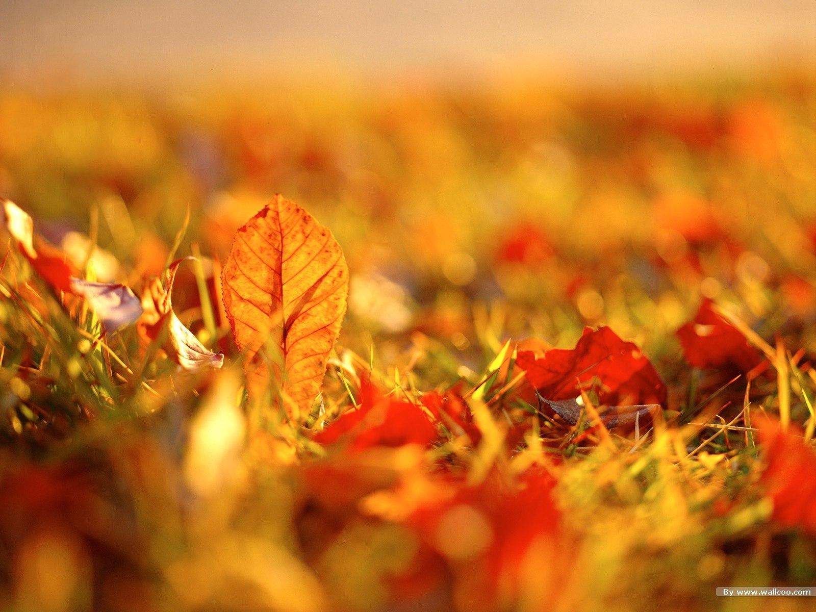 秋天火红的枫叶高清图片素材(35p)
