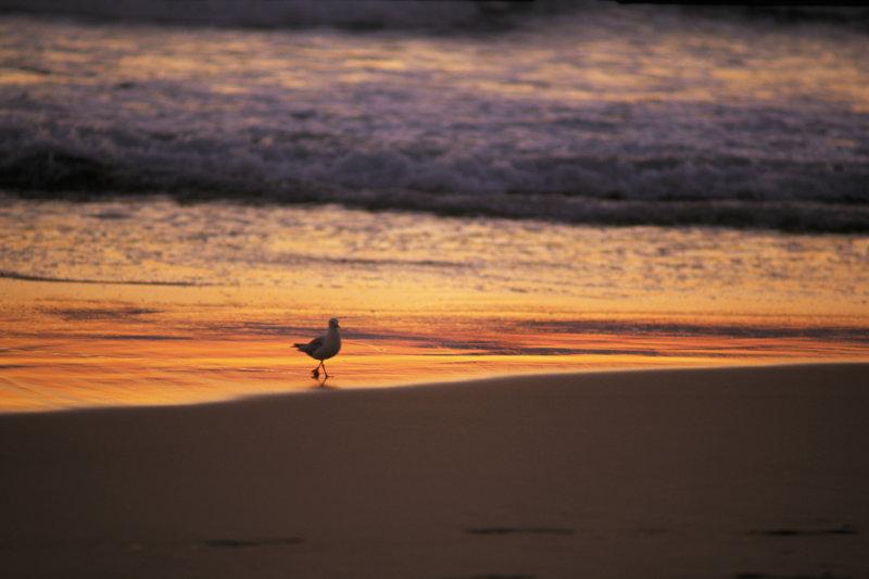高清图片 风景图片 流水沙滩 >> 图片信息  一只白色海鸟漫步在夕阳下