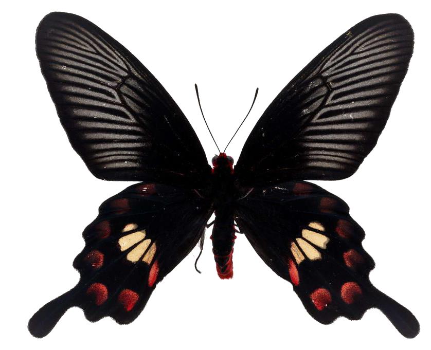 后期装饰常用的免抠图png格式蝴蝶图片素材