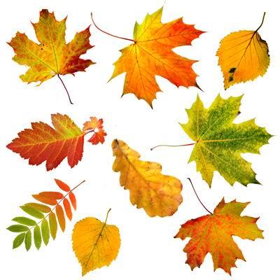 多种秋天的红枫叶树叶落叶黄叶绿叶子高清白背景图片素材下载集合1