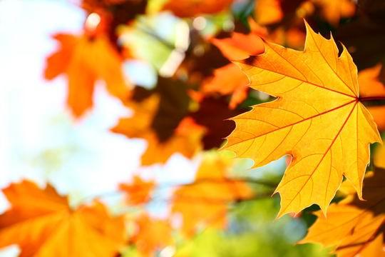 秋天的枫叶黄叶高清图片素材下载