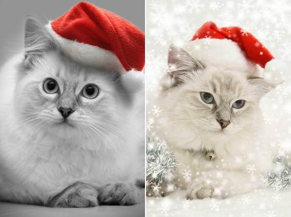 4张白底圣诞帽里超萌的小猫咪动物素材高清图片素材