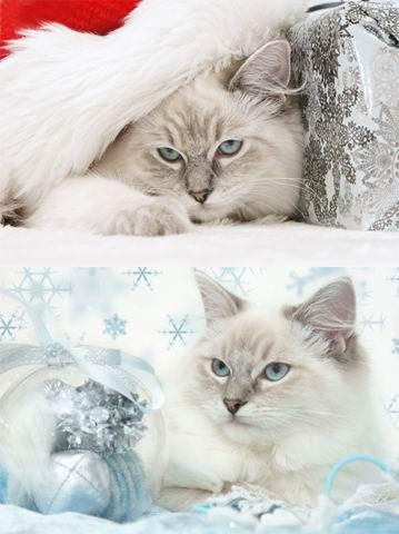 2张高清圣诞节新年胖猫咪素材图片下载