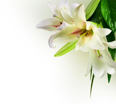 绿色清新百合花背景高清图片下载3