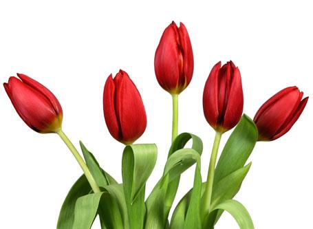 白底鲜艳的红色郁金香鲜花素材高清图片下载