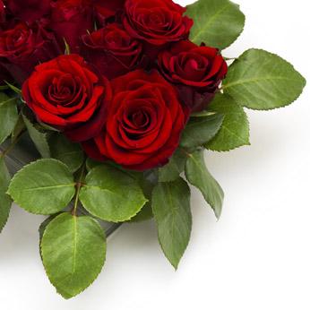 高清白底鲜艳的红玫瑰花卉图片素材下载