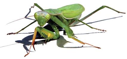 男性愹aiyil��)��'_矢量昆虫.ai逼真螳螂.ai素材